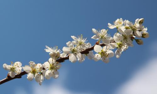 fiori di prugnolo terradellefate